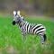 Felted Zebra