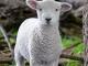 Romney ram lamb