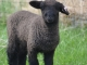 Romney Ewe lamb