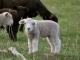 Romney Lamb
