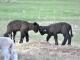 Romney Lambs