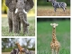 african-wildlife-collage