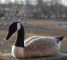 needle-felted-canadian-goose-2010-022